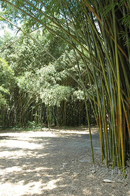 Path through a bamboo grove at Kanapaha