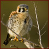 Young American kestrel