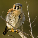 Young American kestrel on tree snag
