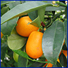 Small orange kumquat fruit on tree with deep green leaves