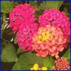 Multicolored cluster of tiny flowers that make up what we call a lantana flower
