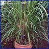 Lemongrass is a grassy looking plant in a terrcotta planter