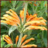 Orange lion's ear flower