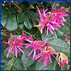 Loropetalum shrub with pink flowers