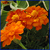 Deep orange marigolds