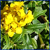 Yellow flowers and narrow green leaves of Mexican tarragon