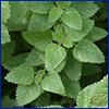 slightly fuzzy triangular leaves of the mint plant