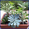 Different succulent plants in a clay pot