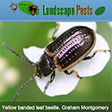 yellow banded leaf beetle