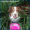 Murphy the Australian shepherd, photo by Jennifer Sykes all rights reserved.