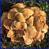 a cluster of tan mushrooms. Photo by David Stephens of Bugwood