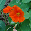 Reddish orange simple flower with foliage that resembles lilypads