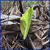 New canna growth from plant killed by freezing temperatures
