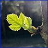 Tiny new fig leaf budding off a branch with the sun shining through it