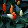 Red, white, and orange ornamental peppers