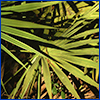Green fan-shaped fronds of palmetto