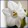 The white flower of paperwhite narcissus