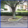 A poor oak tree planted in a parking lots, its roots cracking the pavement
