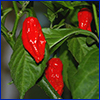 Bright red peppers on plant
