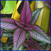 Foliage plant with purple leaves and dark green veins