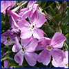 Pink phlox flowers photo by Dow Gardens, Bugwood.org