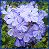 purple-blue plumbago flowers