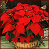 red poinsettia in a basket