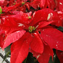 Speckled red poinsettia