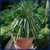 Yucca plant in a terracotta pot