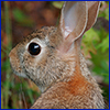 Eastern cottontail rabbit photo by Thomas Wright, UF