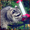 Raccoon on hummingbird feeder