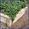 Raised wooden bed filled with leafy green strawberry plants