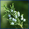 The light blue berry like fruit of a female red cedar tree, photo by Stephen Brown, UF/IFAS