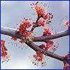 The tiny flowers of a red maple