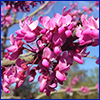 Tight cluster of bright pink flowers on an otherwise bare branch