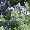 Many rosemary plants blooming with tiny purple flowers