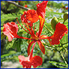 Red delicate flower of royal poinciana tree