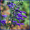 Deep blue flowers of Salvia guaranitica