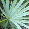 silvery green palm frond