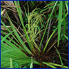 The insignificant flowers of saw palmetto