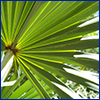 Fan-shaped saw palmetto leaf with sun shining on it