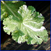 A very close very of a variegated geranium leaf, frilled and heart-shaped
