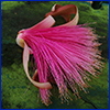 The flower of a shaving brush tree