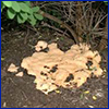 the yellowish slime mold called dog vomit