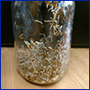 Seeds just beginning to sprout in a glass jar