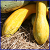 Two yellow squash spilling out of a basket onto hay in the sunshine