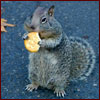 Squirrel eating cracker