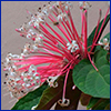 closeup of starburst clerodendrum pink flower