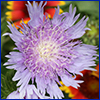 A purple Stoke's aster flower with fine, fringy petals
