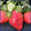 Three bright red strawberries